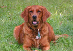 Golden wisconsin adult Available retrievers
