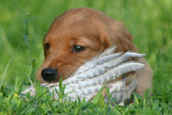 Golden Retriever Puppy Playing with Bird